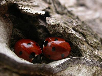 Ladybird Stream