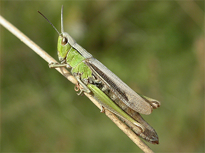 Male Meadow Grhoppers Are Fully Winged But The Females Usually Short Though Can Occur
