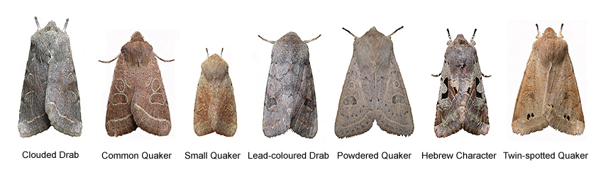 Quaker Moth Identification